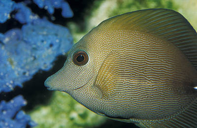 Close-up Of Scopus Brown Tang Fish Head Poster by Jason Edwards
