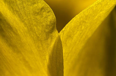 Close Up Of The Petals Of A Daffodil Poster by Todd Gipstein