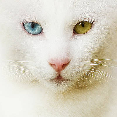 Close Up Of White Cat Poster