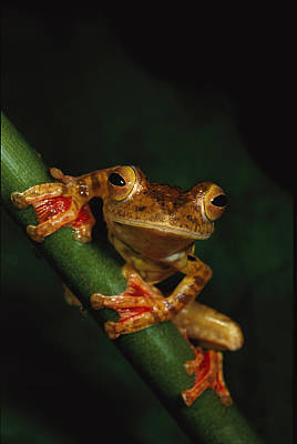 Close View Of A Harlequin Tree Frog Poster