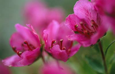 Close View Of Kamchatka Rhododendron Poster by Joel Sartore