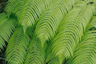 Close View Of Tree Ferns Cibotium Poster