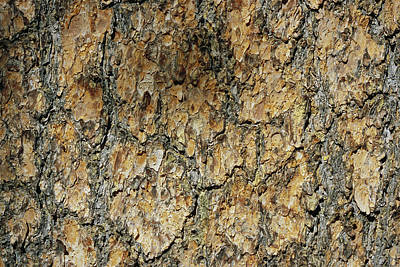 Close View Of Whitebark Pine Tree Bark Poster by Marc Moritsch