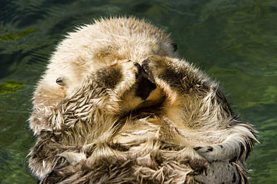 Closeup Of A Captive Sea Otter Covering Poster by Tim Laman