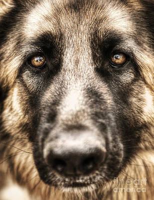 Closeup Portrait Of German Shepherd  Poster by Anna Om