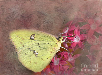 Clouded Sulphur Butterfly Poster by Betty LaRue
