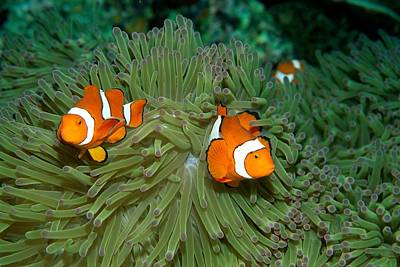 Clown Anemonefish In The Tentacles Poster by Wolcott Henry