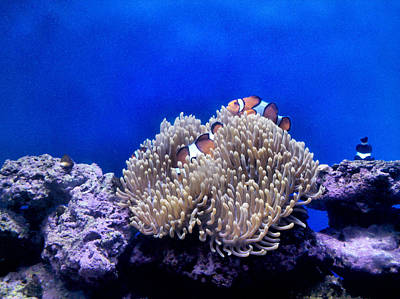 Clown Fish Resting Poster