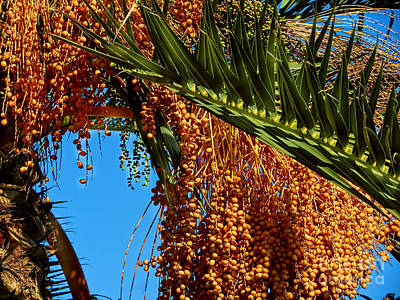 Poster featuring the photograph Cluster Of Dates On A Palm Tree  by Alexandra Jordankova