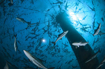 Cobia Inside A Submerged Deepwater Cage Poster