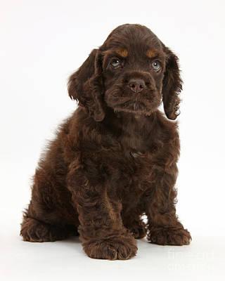 Cocker Spaniel Pup Poster