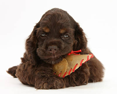 Cocker Spaniel Pup With Chew Treat Poster by Mark Taylor
