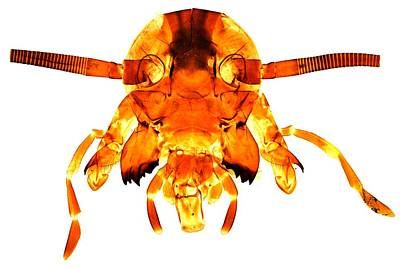 Cockroach's Head, Light Micrograph Poster by Dr Keith Wheeler