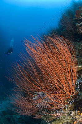 Colony Of Red Whip Fan Coral Poster by Steve Jones