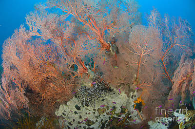 Colourful Sea Fan With Crinoid, Papua Poster