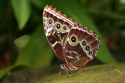 Poster featuring the photograph Common Blue Morpho by Laurel Talabere
