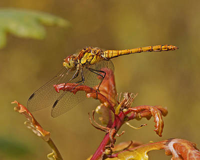 Poster featuring the photograph Common Darter 2 by Paul Scoullar