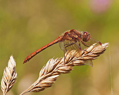 Poster featuring the photograph Common Darter by Paul Scoullar
