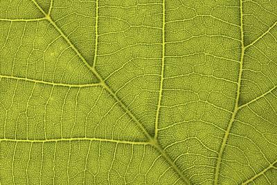 Common Lime Leaf (tilia X Europaea) Poster by Bjorn Svensson