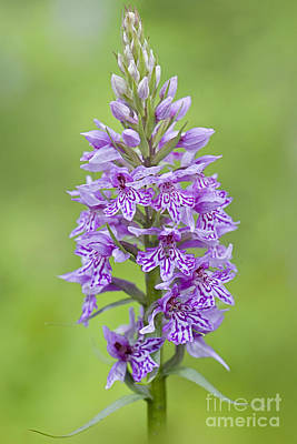 Common Spotted Orchid Poster by Jacky Parker