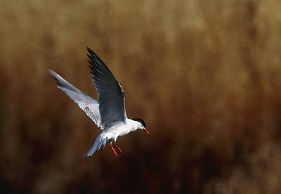 Common Tern Flying Poster by Andy Harmer