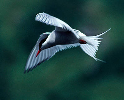 Common Tern Poster by Tim Rayburn