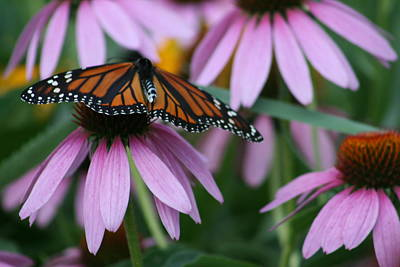 Poster featuring the photograph Cone Flowers And Monarch Butterfly by Kay Novy