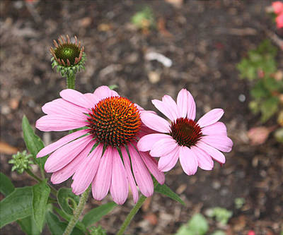 Poster featuring the photograph Coneflowers Nb by Susan Alvaro