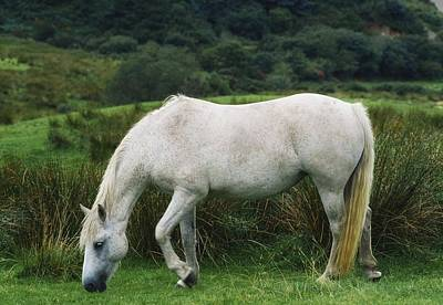 Connemara Pony Poster