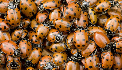 Convergent Lady Beetles Gathering Poster