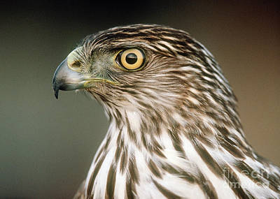 Poster featuring the photograph Cooper's Hawk by Doug Herr