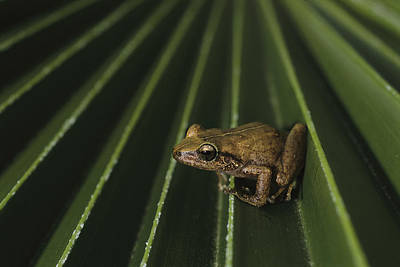 Coqui Frogs Invaded The Hawaiian Poster