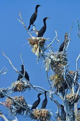 Cormorant Habitat Poster