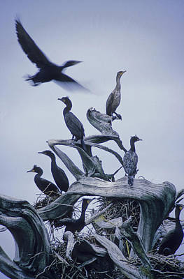 Cormorants Fly Above Driftwood, Grey Poster