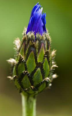 Poster featuring the photograph Cornflower Bud by Rob Hemphill