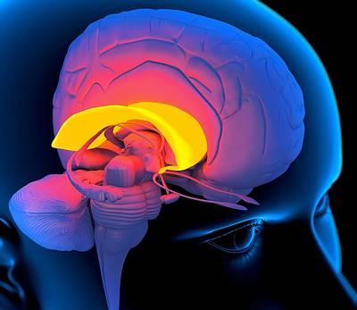 Corpus Callosum In The Brain, Artwork Poster