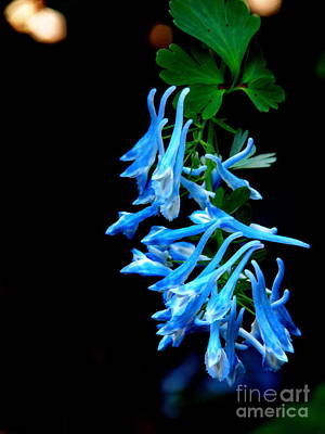 Corydalis  Poster by Tanya  Searcy