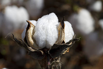 Cotton Bolls Springing Forth Poster by Kathy Clark