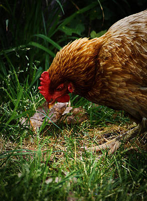 Country Chicken 2 Poster by Scott Hovind