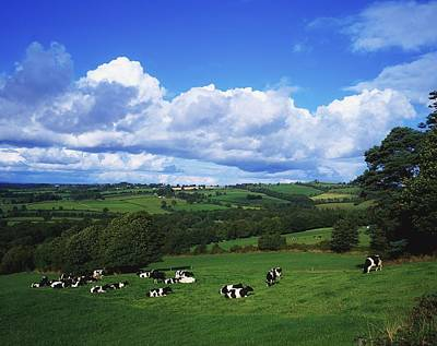 County Tipperary, Ireland, Dairy Cattle Poster