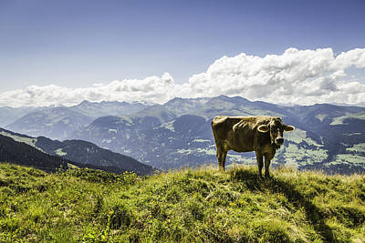 Cow Grazing On Grassy Hillside Poster by Manuel Sulzer