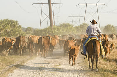 Cowboy Moving A Herd Of Cattle Poster