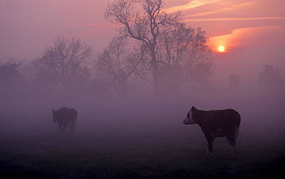 Cows At Sunrise Poster