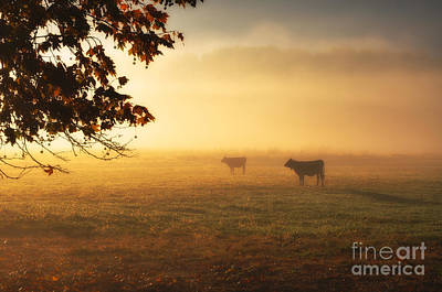 Cows In A Foggy Field Poster