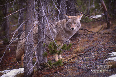 Coyote In Yellowstone National Park Poster by Janeen Wassink Searles