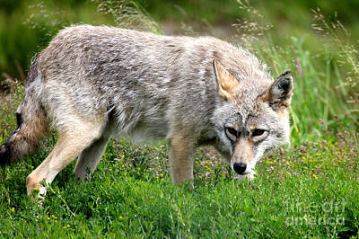 Poster featuring the photograph Coyote On The Prowl by Kathy  White