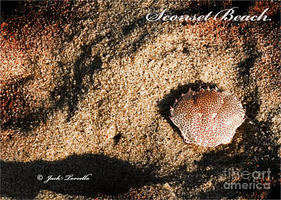 Poster featuring the photograph Crab Shell 'sconset Beach Nantucket by Jack Torcello