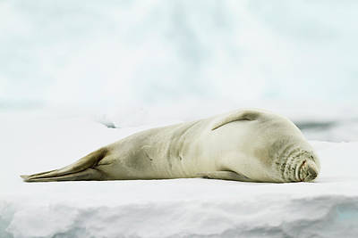 Crabeater Seal (lobodon Carcinophaga) Poster