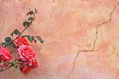 Cracked Wall And Rose Poster by Tom and Pat Cory