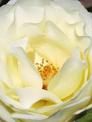 Cream Rose  Poster